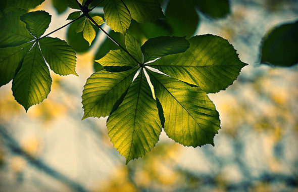 chestnut-leaf_740x520