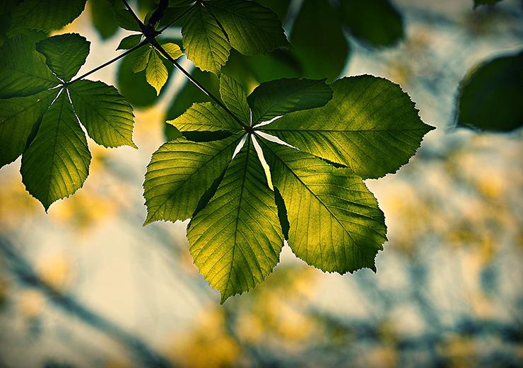 chestnut-leaf_740x520